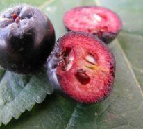 Aroniabeeren- süße Rezepte für gesundes Naschen aus der Region