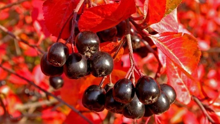 aroniabeeren saft aronia rezepte schwarz