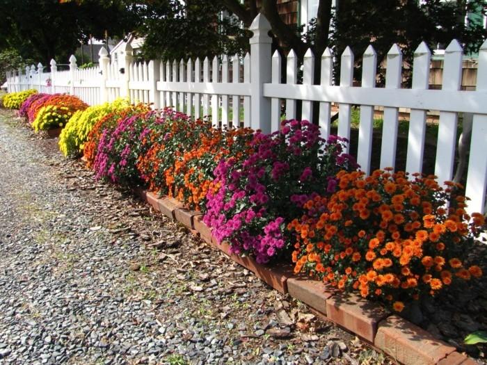 gartenblumen farbige chrysanthemen vor dem weißen gartenzaun