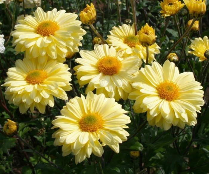 gartenblumen gelbe chrysanthemen