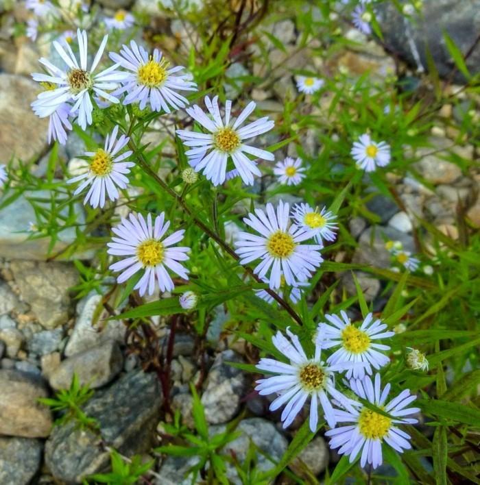 gartenblumen hellblaue astern sind schöne hingucker im garten