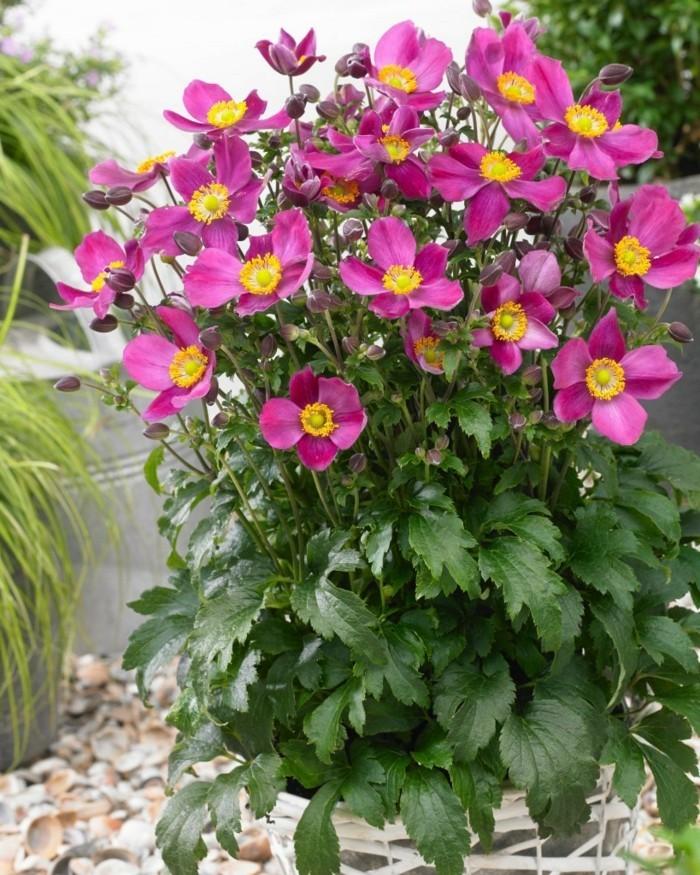 gartenblumen herbstanemonen in krassen farben sehen toll im modernen garten aus