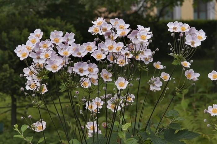 gartenblumen herbstanemonen in sanften schattierungen
