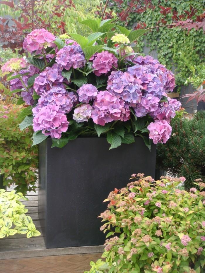 gartenblumen hortensien in sanften farbtönen