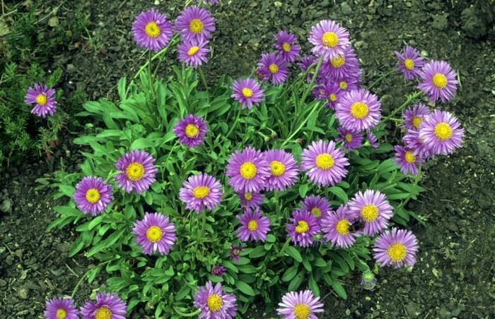 gartenblumen niedliche astern verschönern den garten im sommer und herbst