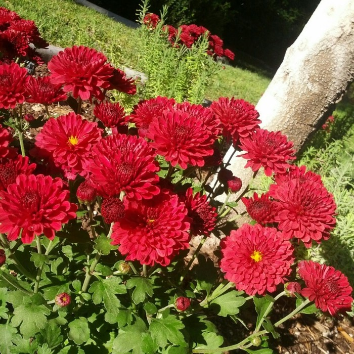 gartenblumen schöne chrysanthemen in rot lenken die aufmerksamkeit auf sich