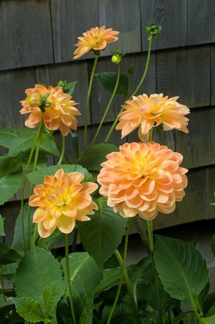 gartenblumen schöne dahlie bringt ein frisches flair in den außenbereich