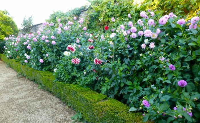 gartenblumen viele dahlien fesseln den blick