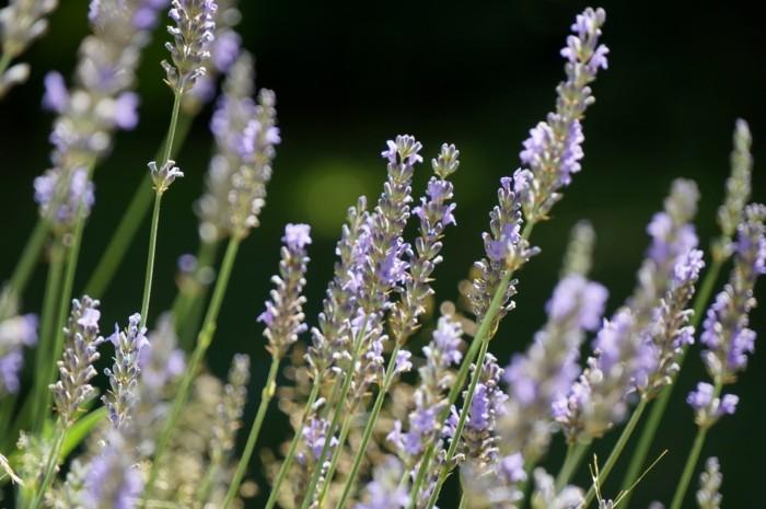 heilkräuter gegen kopfschmerzen lavendel