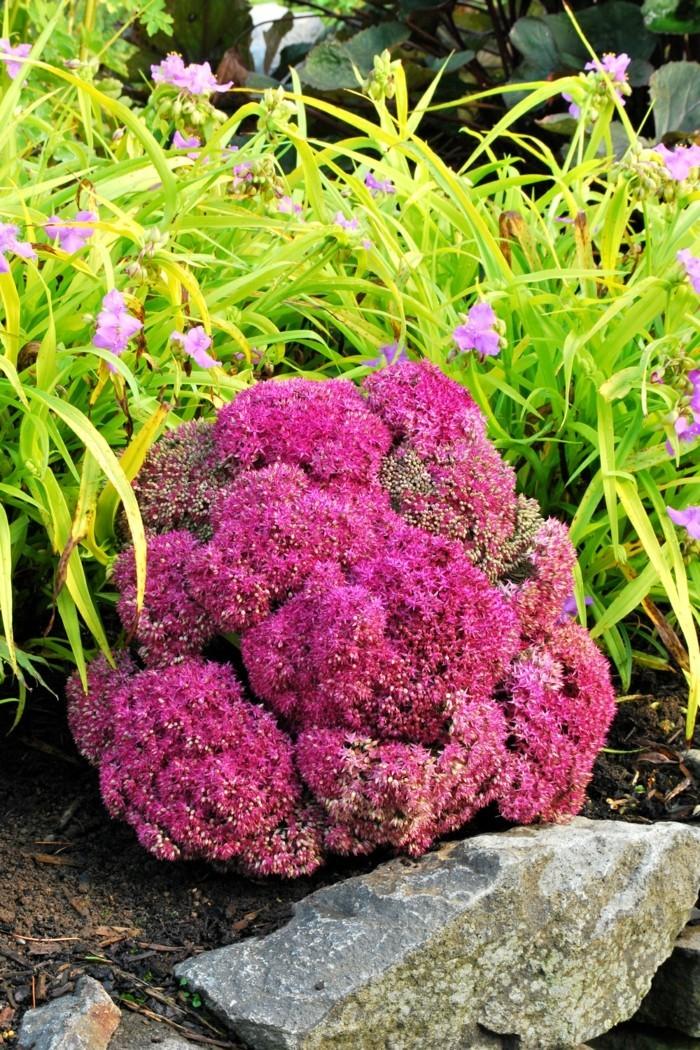 herbstblumen sedum bringt farbe in den herbstlichen garten