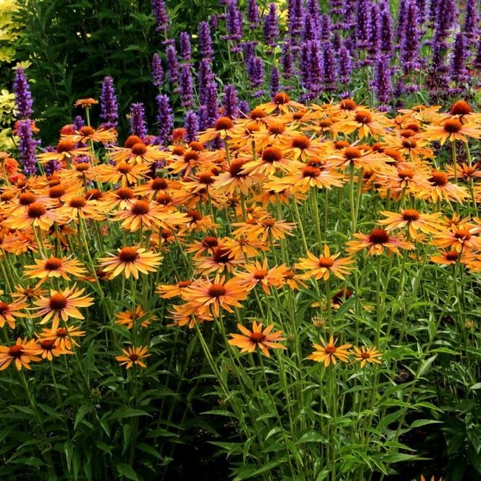 herbstblumen sonenhut in schöner herbstfarbe