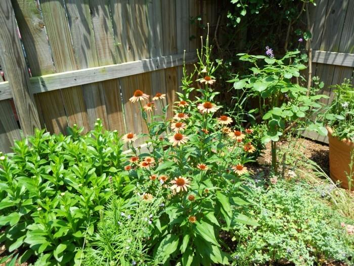 herbstblumen sonnenhut im hinterhof einpflanzen