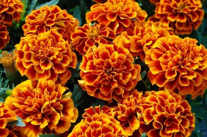 herbstblumen tagetes in ihrer wunderbaren schönheit