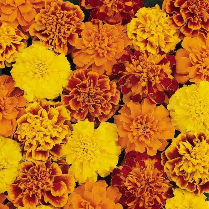 herbstblumen tagetes in schönen herbstlichen farben