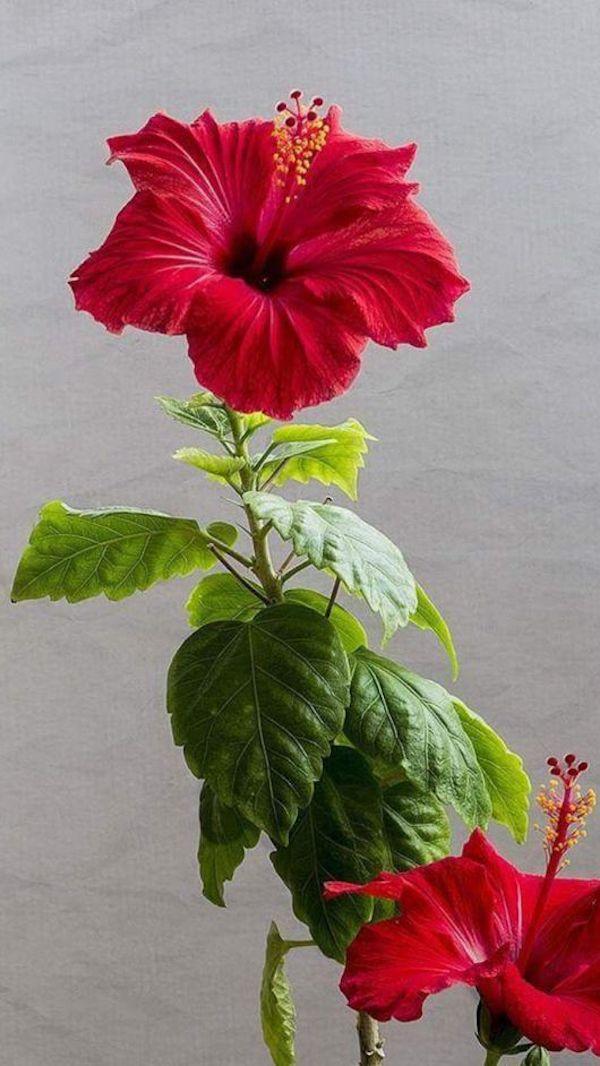 Hibiskus Blüte Karminrot