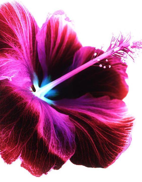 Hibiskus Blüte feine Formen
