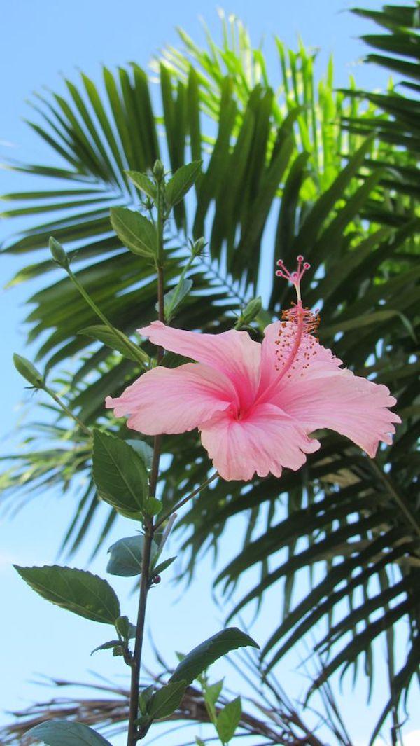Hibiskus Blüte zartes Rosa