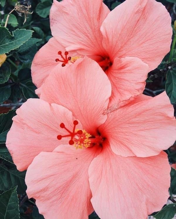 Hibiskus Blüten rosa