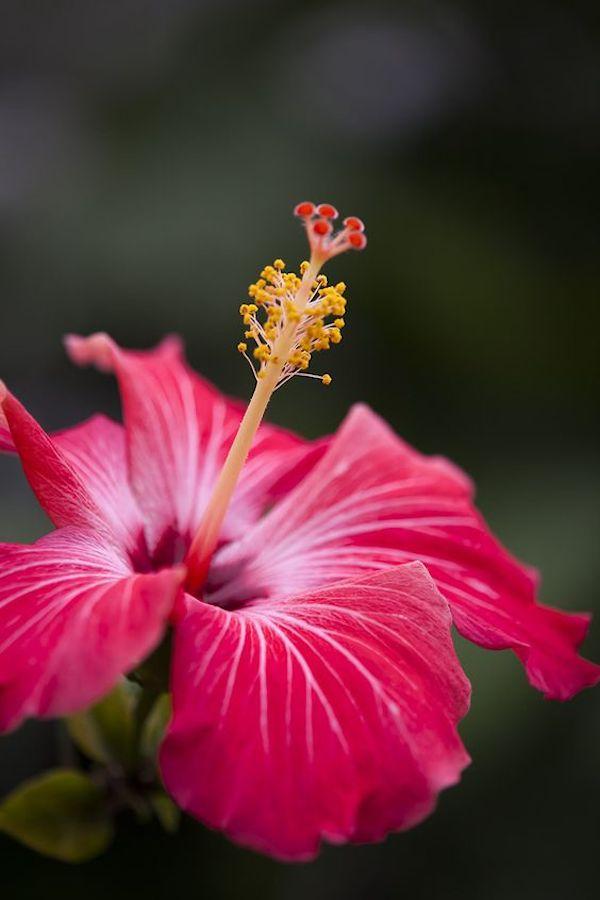 Hibiskus Blüten
