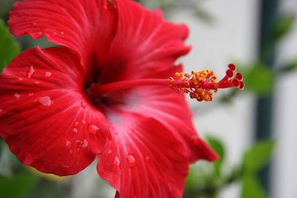 Hibiscus - that certain something for inside and outside
