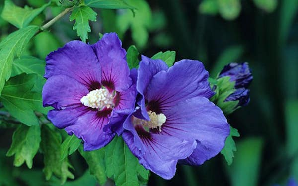 Hibiskus chinesische Rose blaue Blüten attraktiv