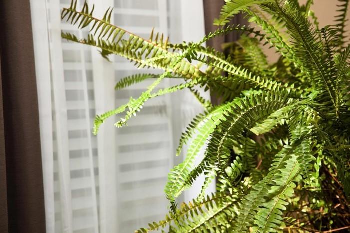 pflegeleiche zimmerpflanzen heilkraeuter farn luftreiniger 2