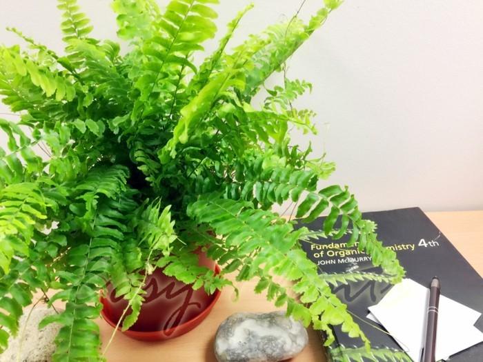 pflegeleiche zimmerpflanzen heilkraeuter farn luftreiniger