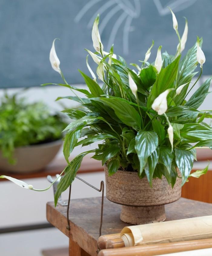 pflegeleiche zimmerpflanzen heilkraeuter friedenslilie 2