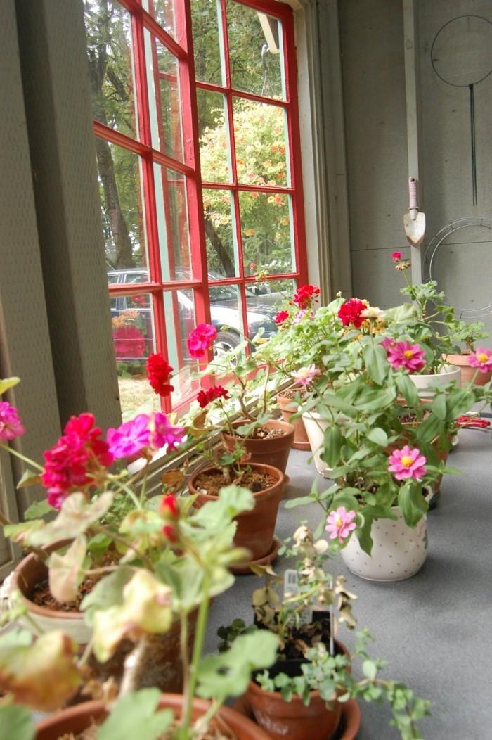 pflegeleiche zimmerpflanzen heilkraeuter geranie3