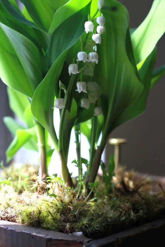 pflegeleiche zimmerpflanzen heilkraeuter maigloeckchen 2