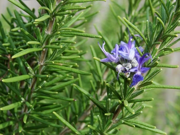 pflegeleiche zimmerpflanzen heilkraeuter rosmarin 2