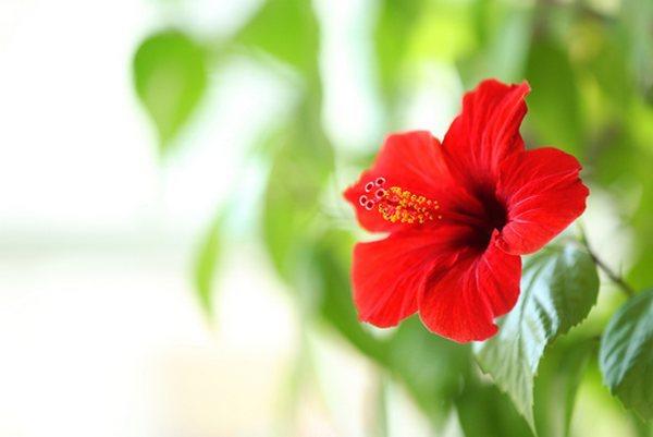 zarte chinesische Rose Blüte