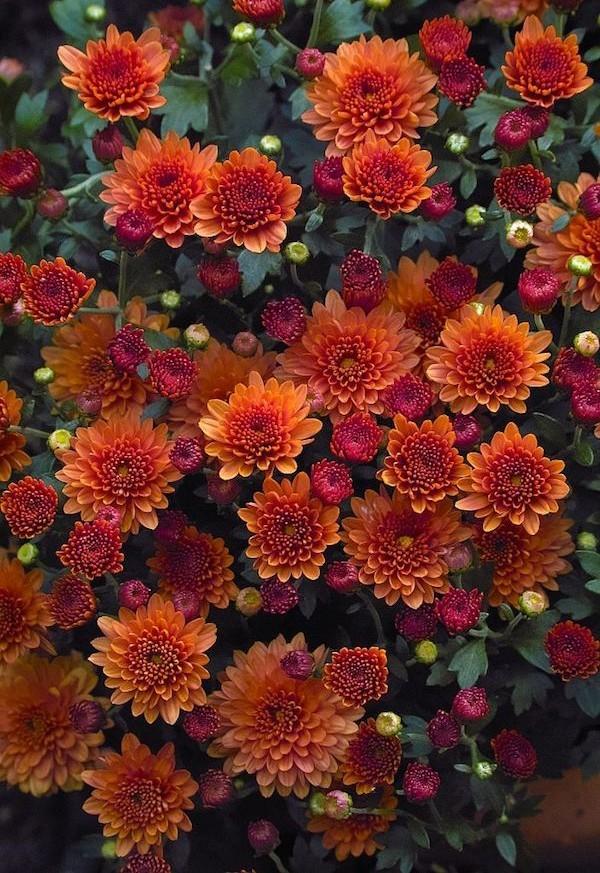 Blütenpracht Gartenchrysanthemen ideen