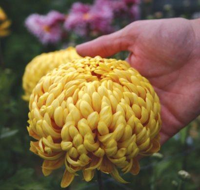 chrysanthemen leuchten in den sch nsten herbstfarben fresh ideen f r das interieur dekoration. Black Bedroom Furniture Sets. Home Design Ideas