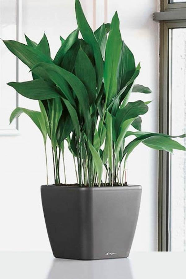 Schusterpalme Zimmerpflanze fürs Bad dunkle schattige Standorte
