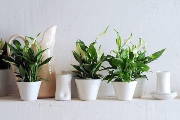 Spathiphyllum Einblatt Zimmerpflanzen fürs Bad