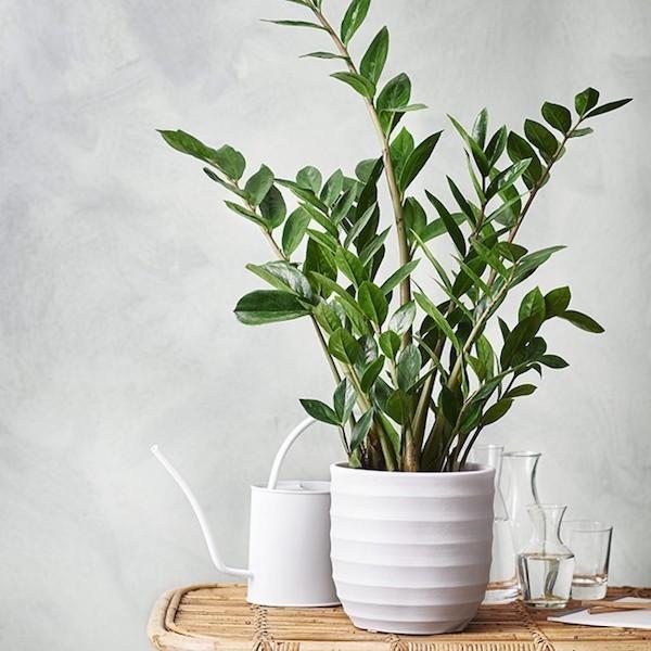 Zimmerpflanzen für lichtarmes Bad Zamioculcas