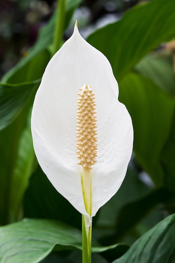 Zimmerpflanzen fürs Bad Einblatt elegante Blüte
