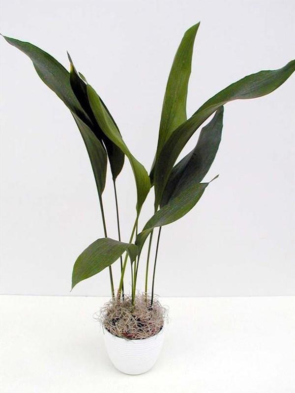 Zimmerpflanzen fürs Bad Schusterpalme Eleganz edles Flair