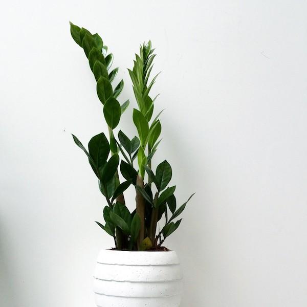 Zimmerpflanzen fürs Bad wenig Tageslicht Glücksfeder