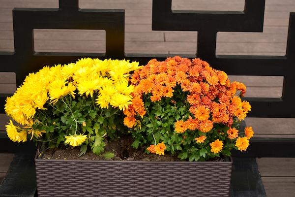 gelbe orange Chrysanthemen im Kasten