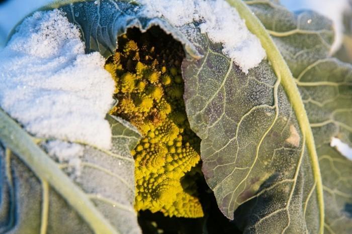 wintergemuese kohl frost