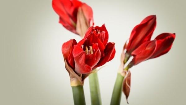 Ritterstern Schnittblume in der Vase Hingucker