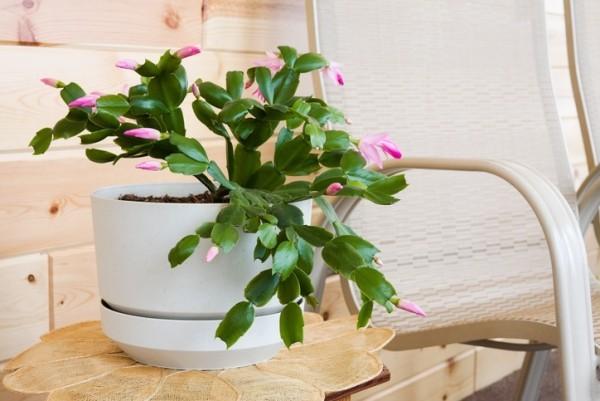Weihnachtskaktus erste Blüten rosa