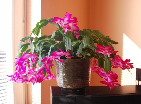 Weihnachtskaktus rosa Blüten richtiger Hingucker