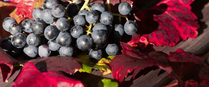 Bordeaux Farbe Weintraube
