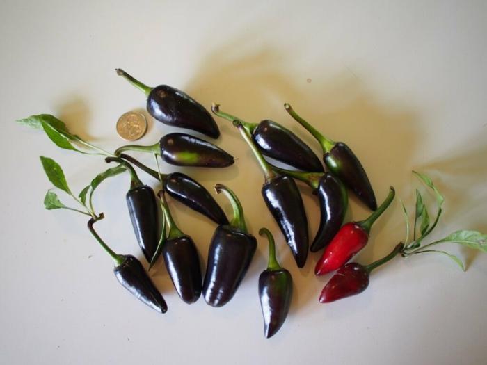 tabasco soße selber machen chilli sosse jalapeno