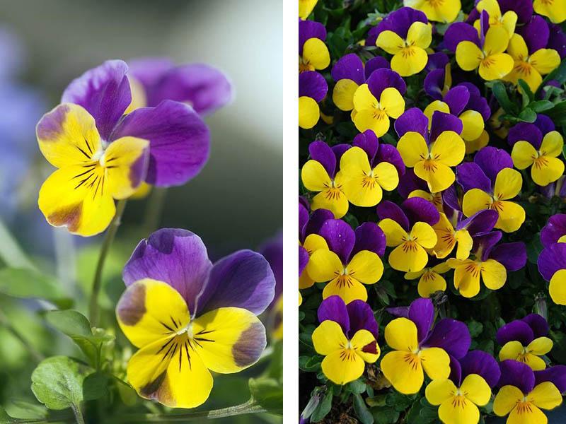 Frühblüher Hornveilchen gelb violett sehr beliebt