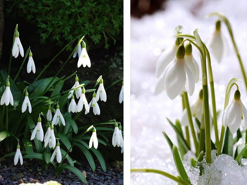 Frühblüher kleine weiße Blüten