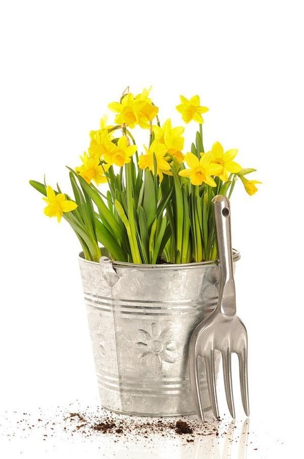 Frühlingsblumen Narzissen im Eimer rustikaler Look